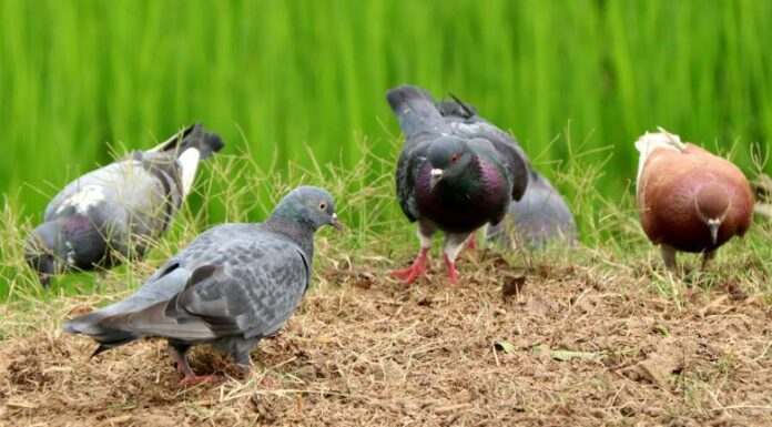 Some pigeons are looking for food on the road
